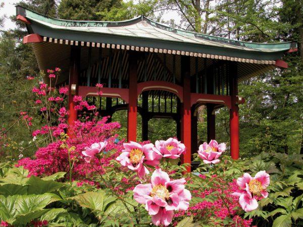 Frühling: Japanpavillon mit blühenden Strauch-Pfingstrosen und Rhododendron © I. Haas, Botanischer Garten und Botanisches Museum Berlin