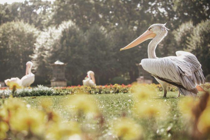 Pelikane im Tierpark Berlin in Karlshorst © Project Immobilien Wohnen AG
